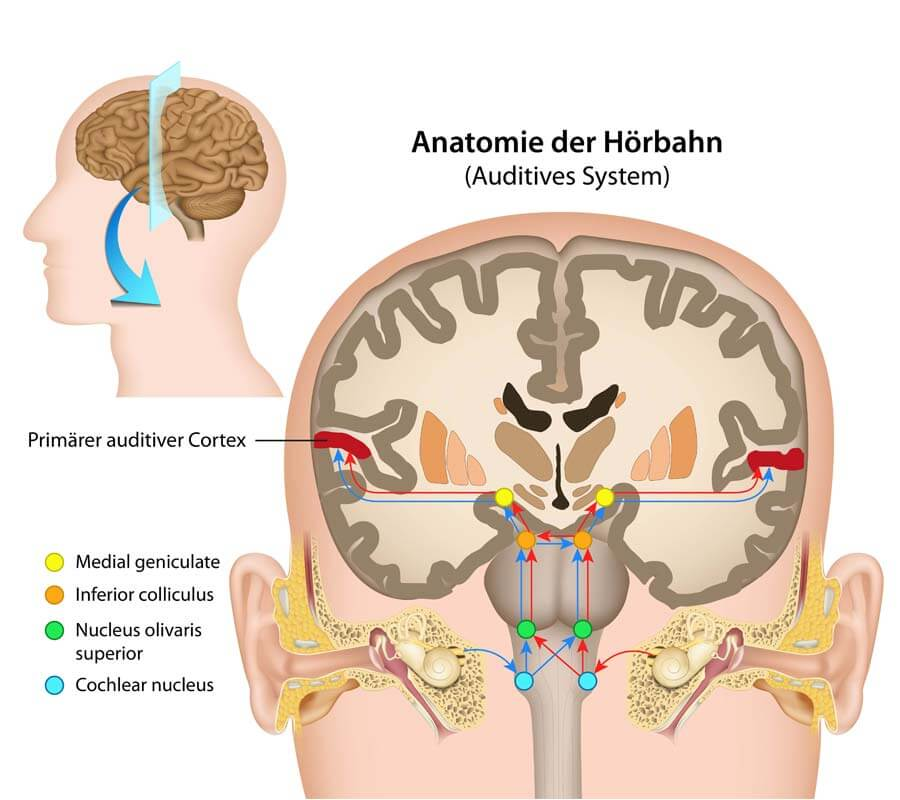 brain anatomy illustration
