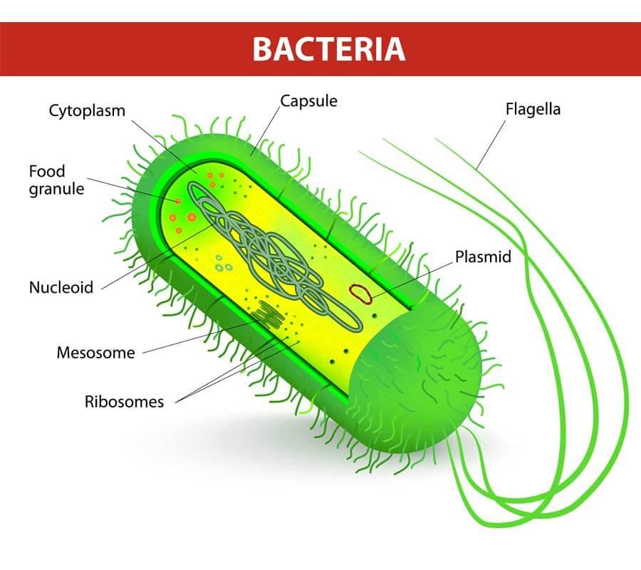 bacteria illustration drawing